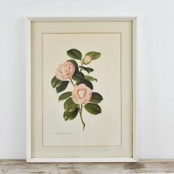Framed Redouté Print